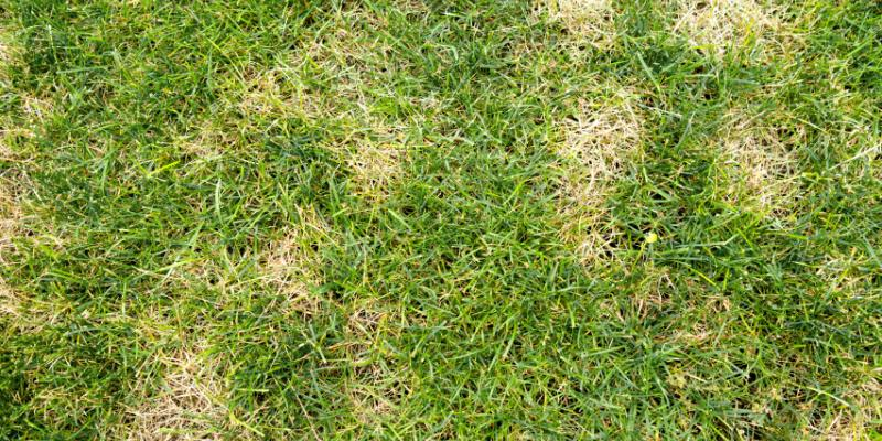 Lawn with evidence of lawn disease